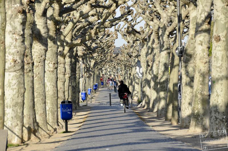 Frankfurt platany drzewa